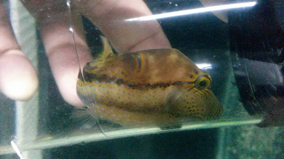 West African Sharpnose Pufferfish (Canthigaster supramacula) from a West African shipment. Credit: Awarma Aquafarm
