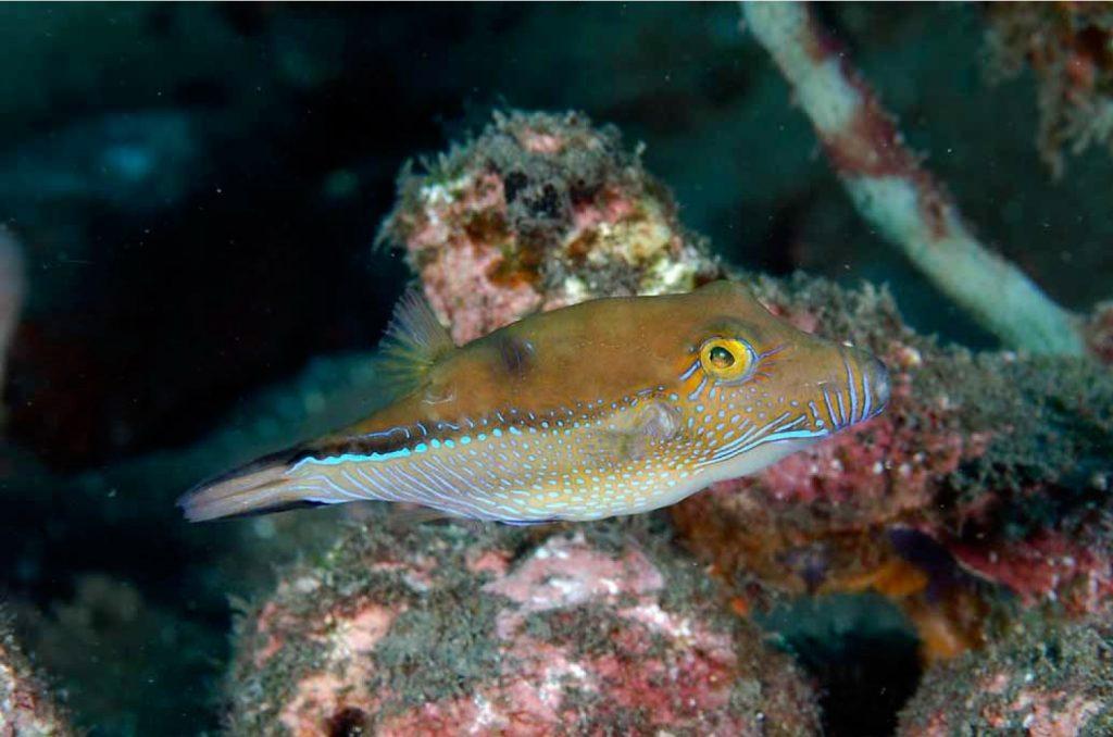 C. supramacula from São Tomé. Credit: Luiz Rocha