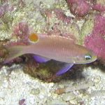 Thanks Obama! A New Tosanoides Anthias From Hawaii
