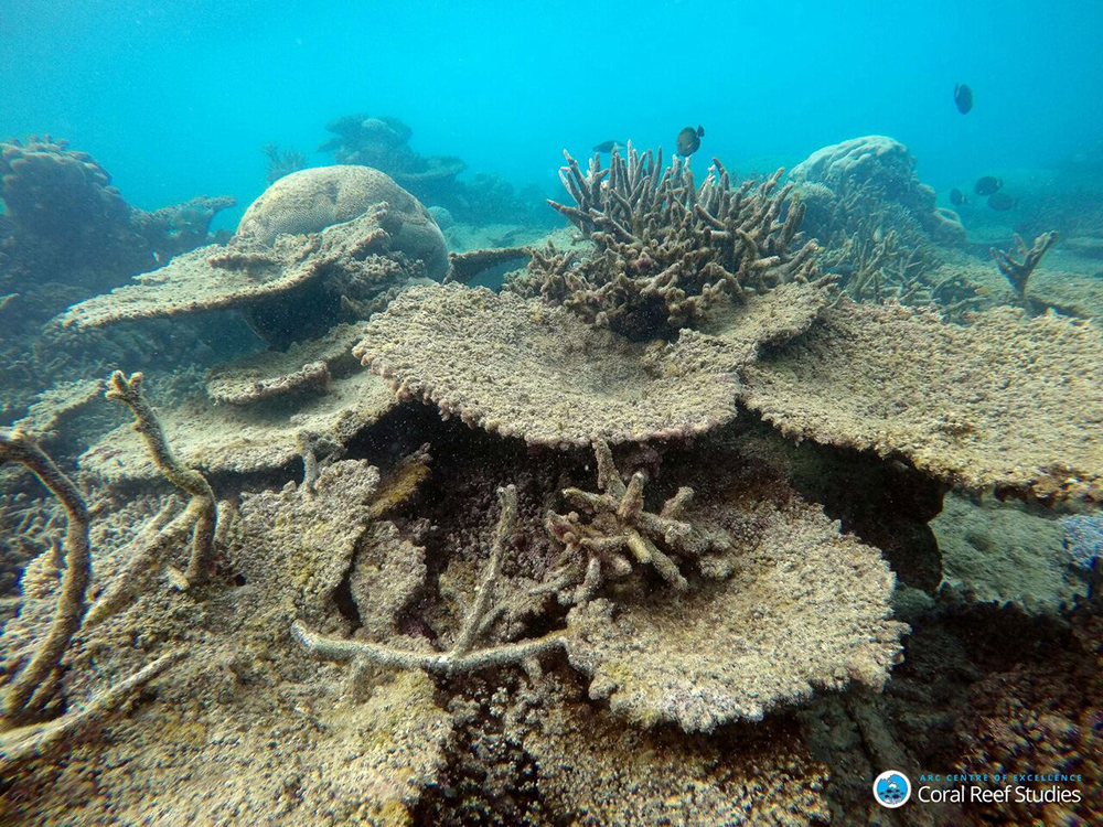 unspecified Dead table corals killed by bleaching on Zenith Reef, on the Northern Great Barrier Reef, November 2016. Credit: Greg Torda, ARC Centre of Excellence for Coral Reef Studies. c