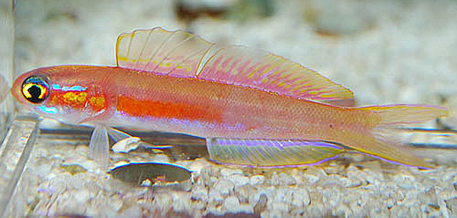 Navigobius cf dewa is another undescribed species. This aquaruim specimen originated from the Maldives. Note the number of dorsal fin rays (~20) is far less than in N. khanhoa. Credit: Aquarise