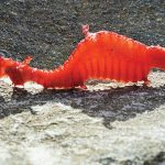 Behold, The First Images Of A Live Ruby Seadragon!