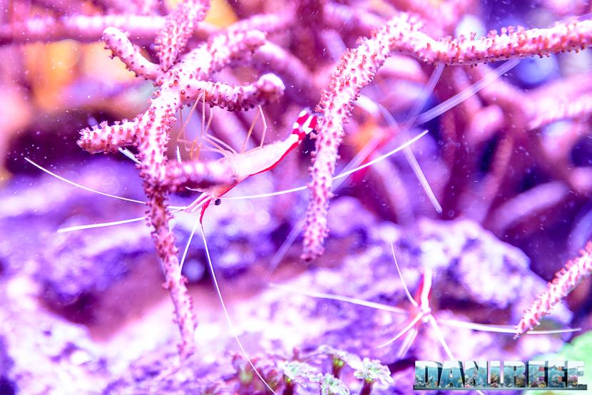 201610 amboinensis, aqamai, hydor, lysmata, PetsFestival 80 Copyright by DaniReef