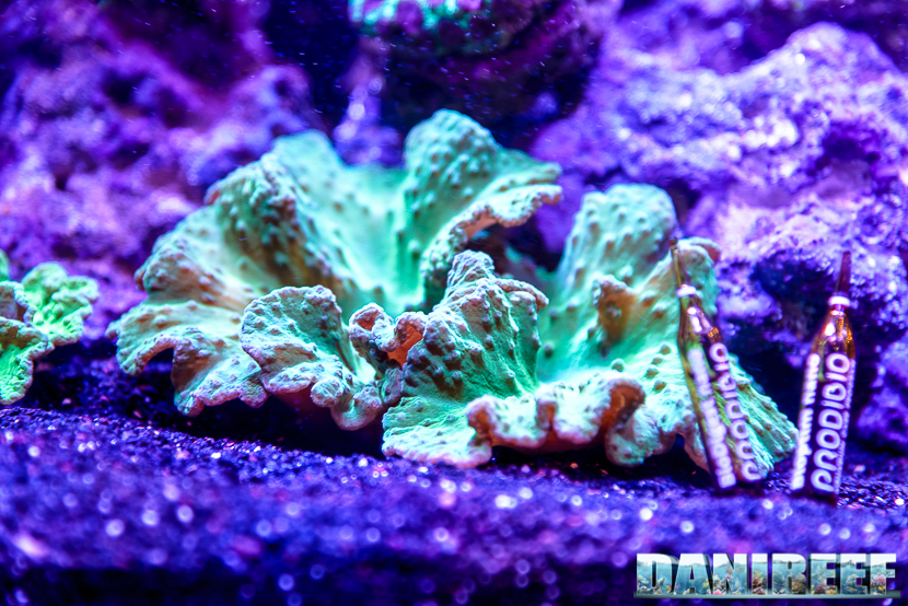 201610 aqamai, coralli, hydor, molli, PetsFestival, sinularia 81 Copyright by DaniReef