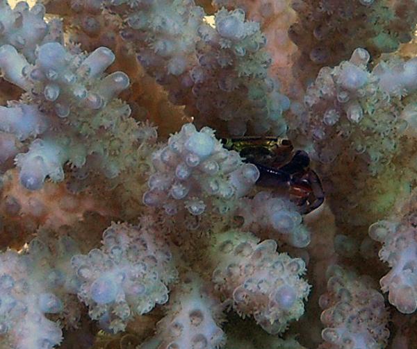 Acropora crab 2