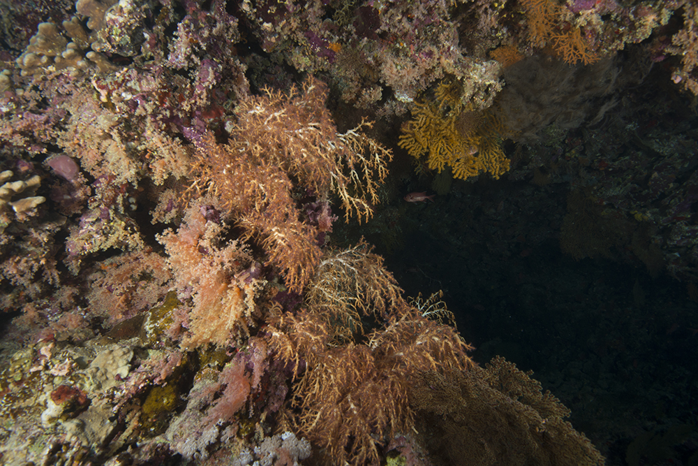 coral Chironephthya