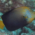 Huxley's Line & The Bluespotted Angelfish