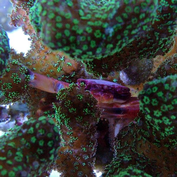 coral guard crab
