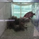 Studying Behavior in Kelp Forest Fish