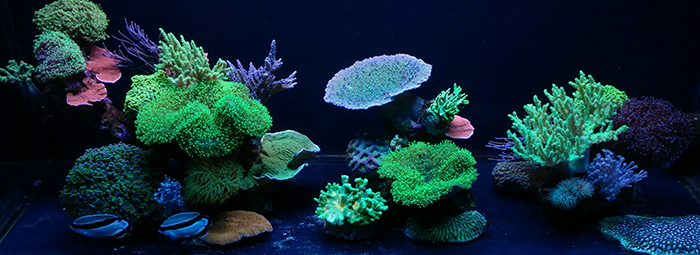 Reef aquarium containing wild collected, maricultured, and aquacultured coral. Photo by Austin Lefevre.