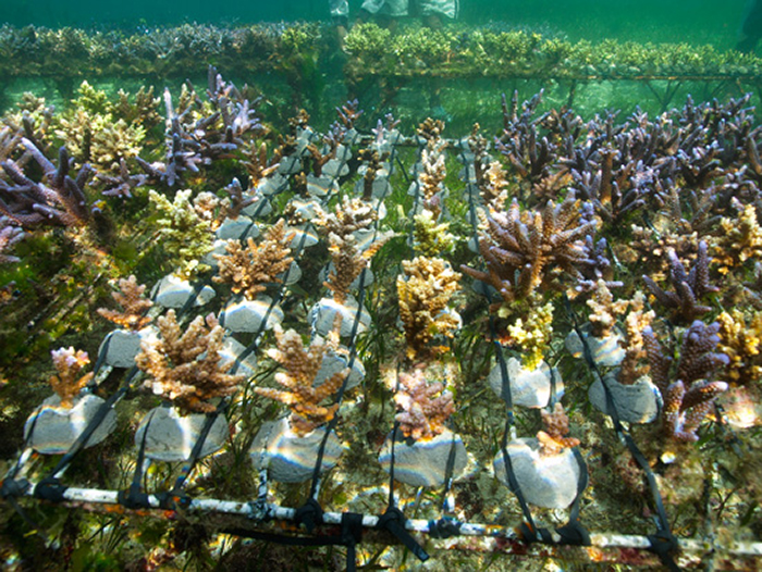 Maricultured coral growing out in Pulau Serangan. Photo by Coral Morphologic.