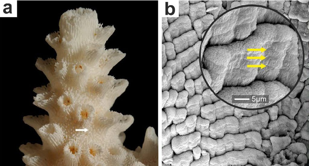 """Shingles"" in Acropora eurystoma. Yellow arrows show growth bands within a single shingle. Credit: Stolarski et al 2015"