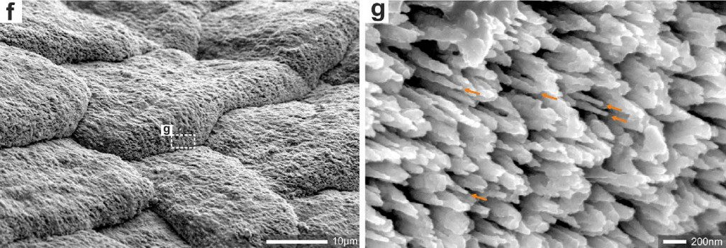 SEM magnification reveals the shingles to be composed of minute aragonitic fibers.