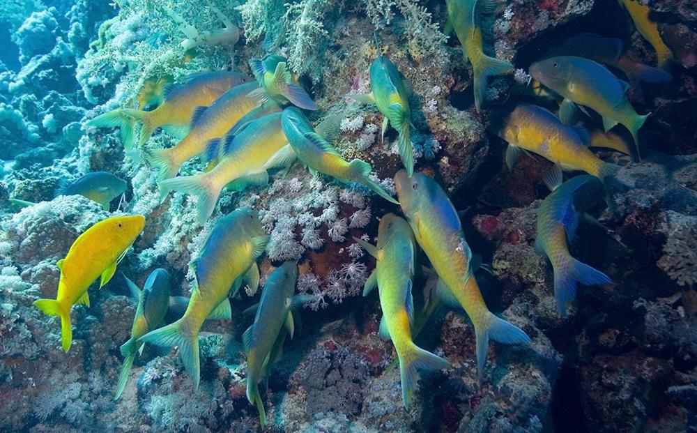 yellowsaddle goatfish