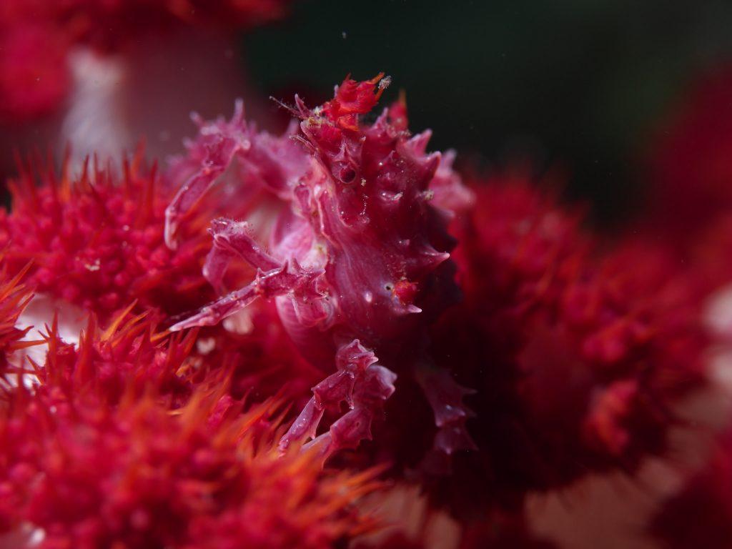 Dendronephthya Crab, Hoplophrys oatesi