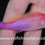 The Elusive Pseudanthias hutomoi Collected Near The Philippines