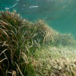 Seagrass Beds may Reduce Disease in Marine Organisms, and Humans!