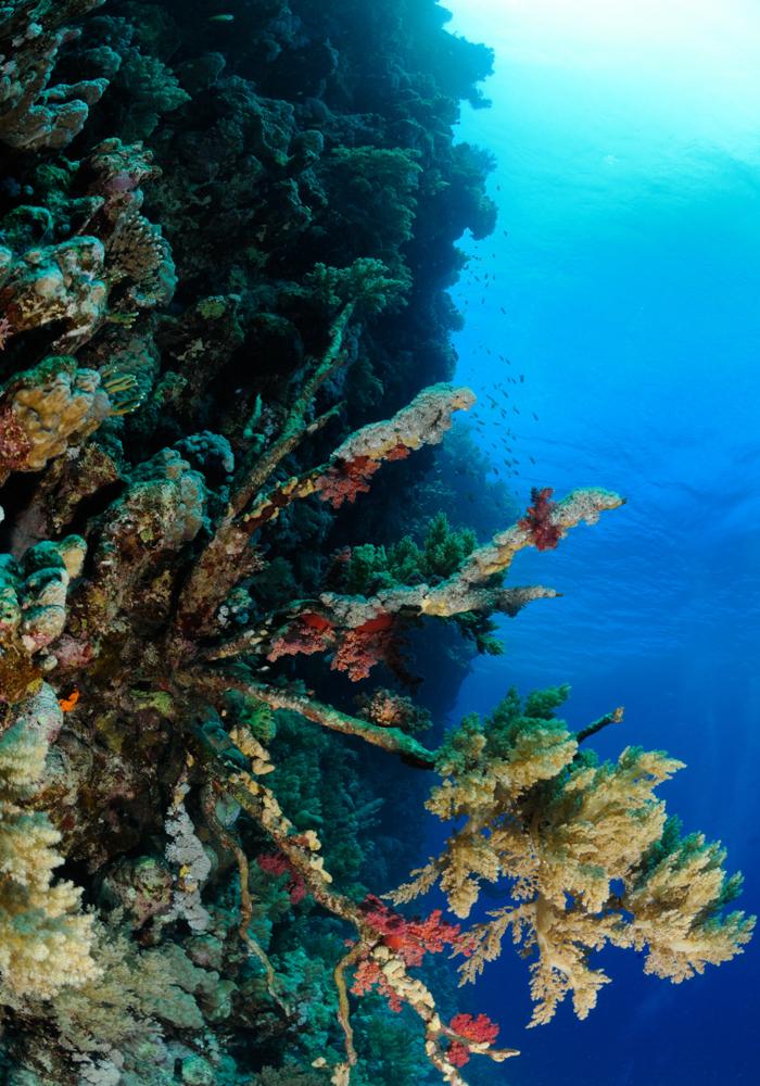 coral, reef, gorgonian