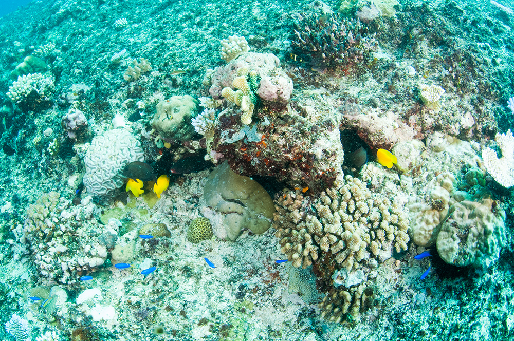 lemonpeel angel, coral