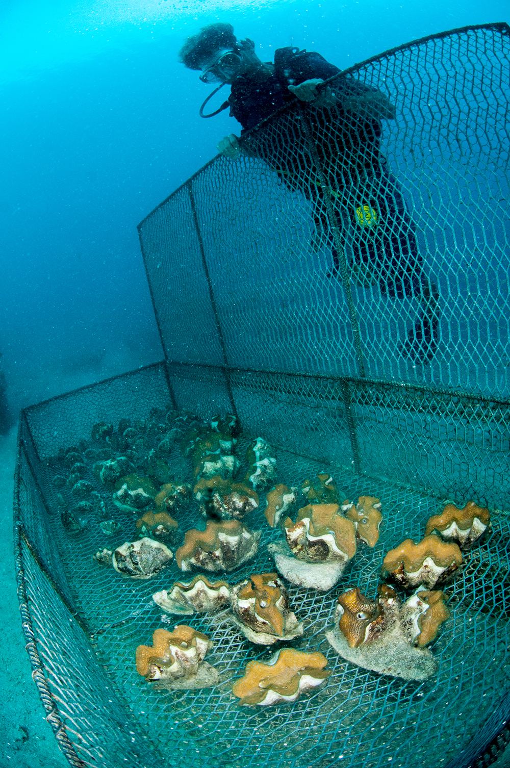 tridacnids clams