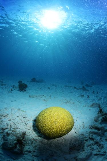 brain coral bonaire