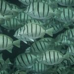 The Mystery of Hawaii's Unique Convict Tang
