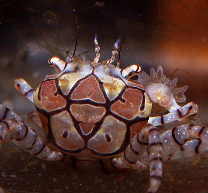 pom pom crab pattern 2