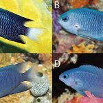 Four New Ugly Damselfish Species That You Won't Care About