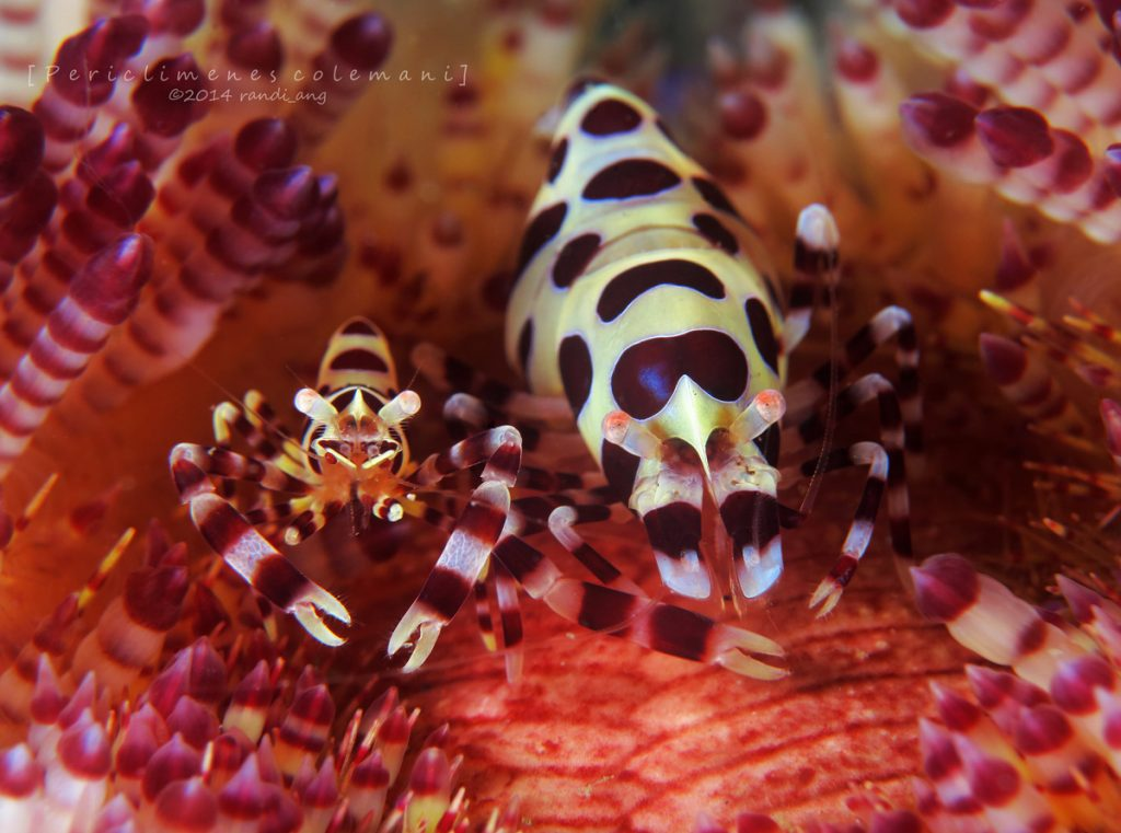 Coleman's Urchin Shrimp