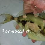 Extremely Rare Hairfin Triggerfish (Abalistes filamentosus) Collected