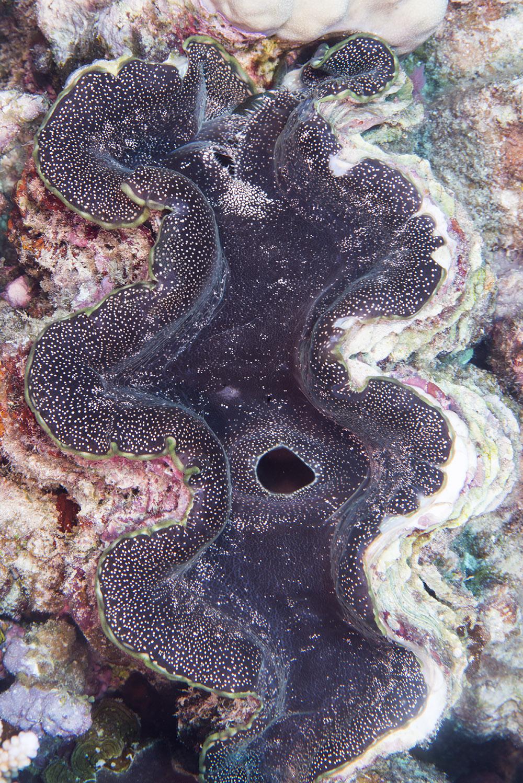 clam,  tridacnid