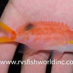 Ultra-rare Aurora Anthias Collected In The Philippines