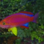 Pseudanthias tequila, The Cave Anthias Finally Has A Name!