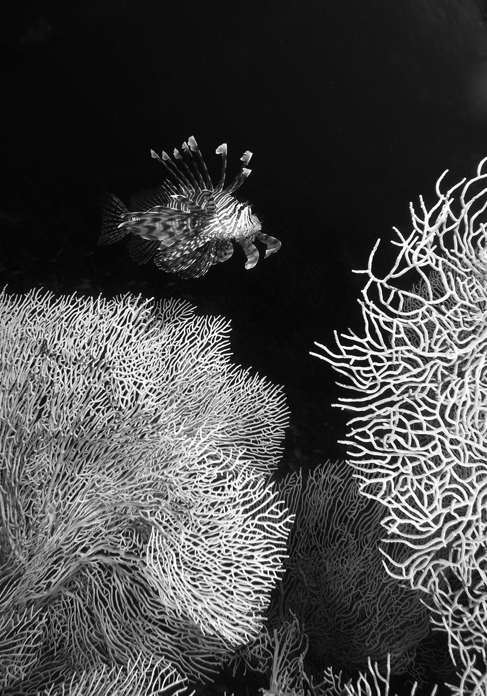 gorgonian, lionfish