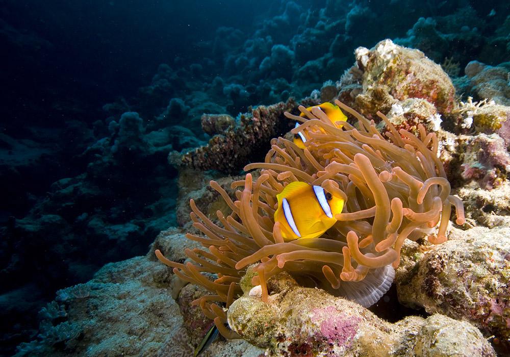 anemone, clown fish
