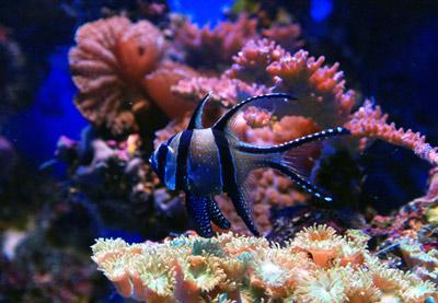cardinal fish corals
