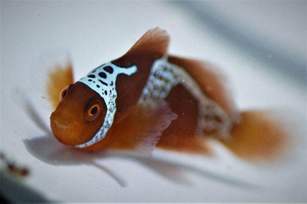 maroon clown fish
