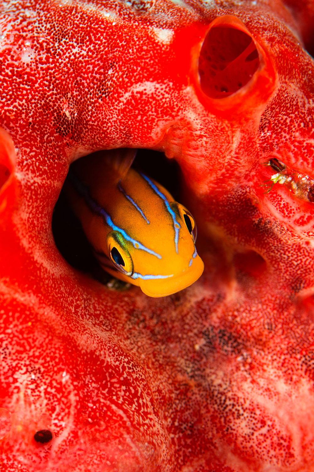 fish, Maldives, red sponge