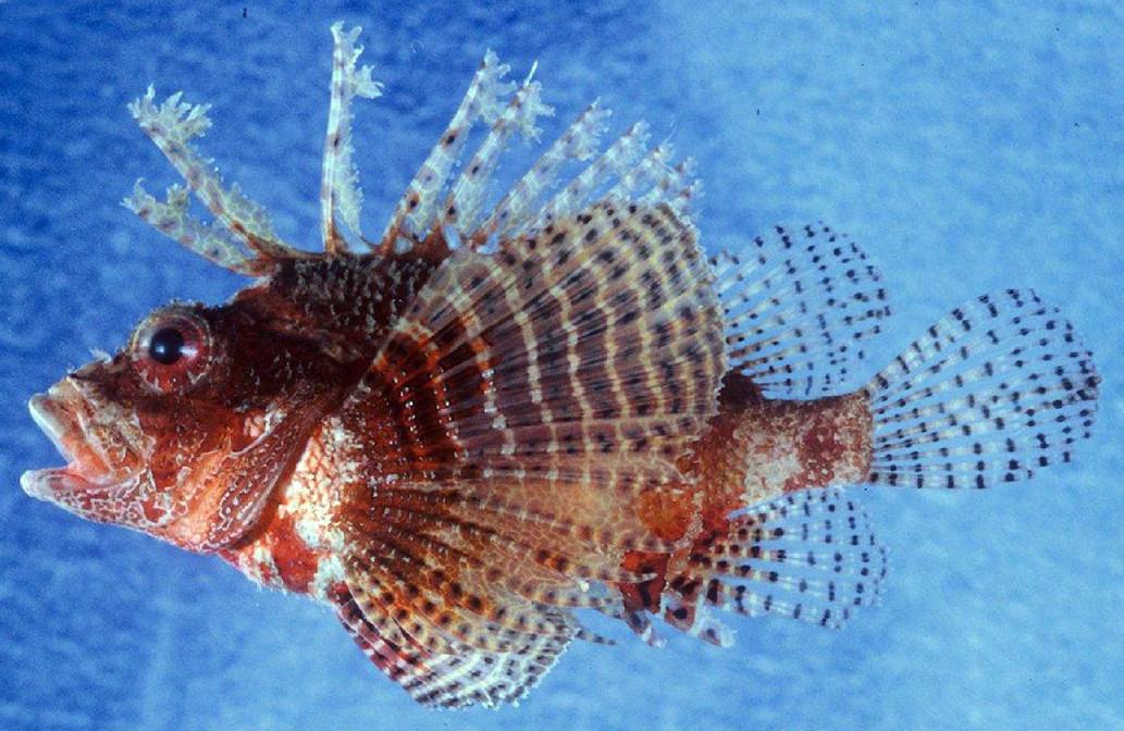 A new species of Fuzzy Dwarf Lionfish is identified