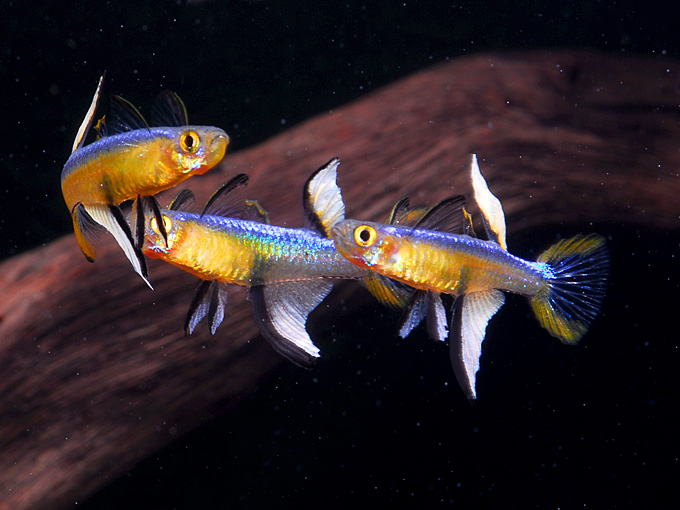 Blue eyes pseudomugil are a perfect reef safe nano fish for Reef fish for sale