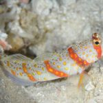 Where Is The Volcano Goby Hiding?