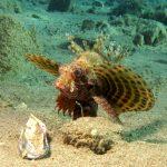 A New Species Of Dwarf Lionfish, Dendrochirus hemprichi