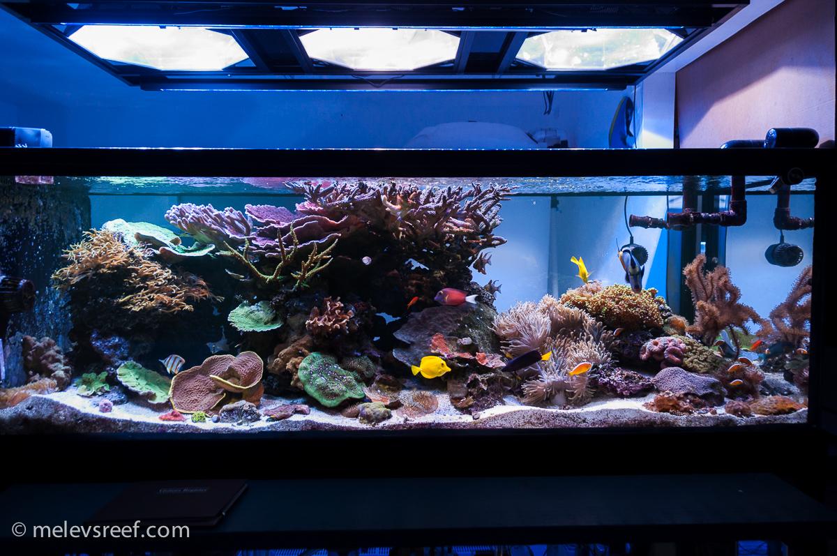 reef tank melev