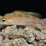 hogfish decodon puellaris