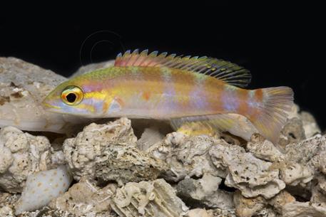hogfish decodon puellaris