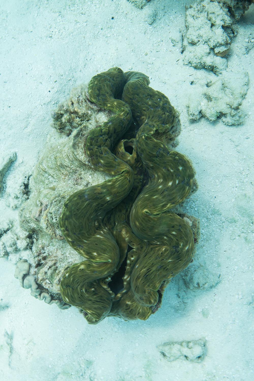 tridacnid, clam