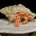 Red-Spotted Hermit Crab