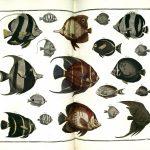Albertus Seba's Cabinet of Coral Reef Curiosities
