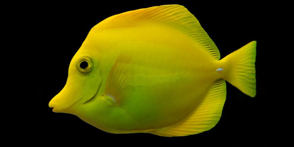 Zebrasoma_flavescens_Luc_Viatour - reefs