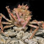 GIANT Deep-Sea Crab found by Smithsonian Institution